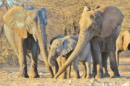 Elephant, African - Wildlife Background from Africa - Three generations of trunks together, in love and unison photo