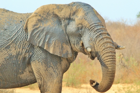 Elephant, African - Wildlife Background from Africa - Bull Power and Funny Trunk Standard-Bild