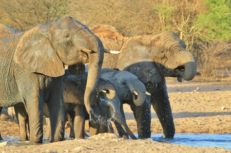 Elephant, African - Wildlife Background from Africa - Beautiful Colors of Life and Fantastic Giants from Nature photo