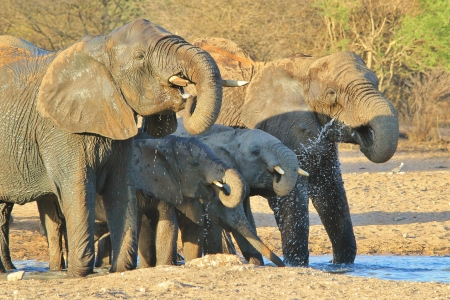 Elephant, African - Wildlife Background from Africa - Fantastic drink of life giving water   Beautiful Life
