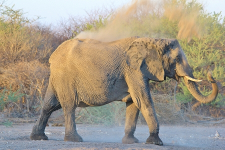 Elephant, African - Wildlife Background from Africa - Funny Dust Bath photo