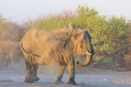Elephant, African - Wildlife Background from Africa - Dust Bath of Fun photo