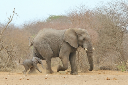 Elephant, African - Wildlife Background from Africa - Baby Run next to Daddy photo