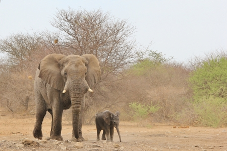 Elephant, African - Wildlife Background from Africa - Baby and Daddy, side by side, as it should be   Wonderful Life photo