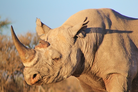 Black Rhino - Rare and Endangered Species - Wildlife Background from Africa - Fortress of Power photo