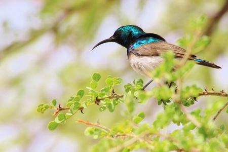 sunbird: White Belly Sunbird - Wild Bird Background from Africa - Iridescent Colors