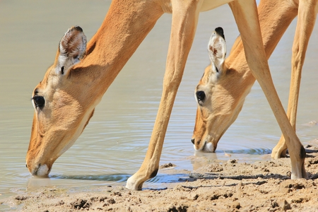 quenching: Impala - Wildlife  from Africa - Symmetry of Quenching Thirst