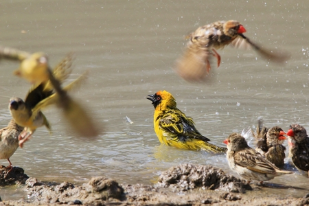 Yellow Masked Weaver - Summer Splash - Wild Bird Background from Africa Banco de Imagens