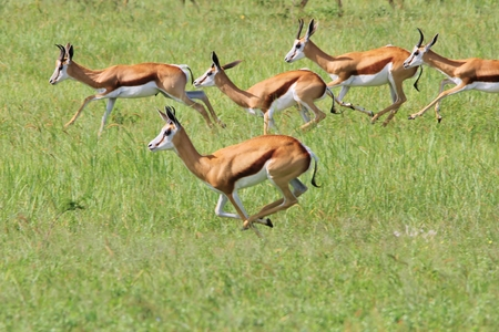 Springbok - Wildlife Background from Africa - Run of Life photo