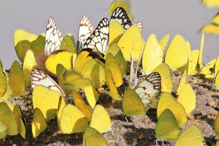 captivate: Yellow Butterflies - Insect Background - Colors from Nature