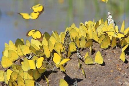 mariposas amarillas: Mariposas amarillas - Encuentro colorido Foto de archivo