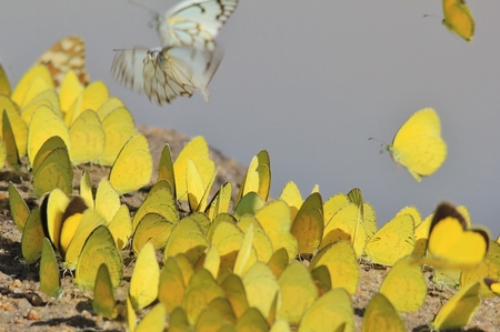 mesmerize: Yellow Butterfly - Natural Colors of Life