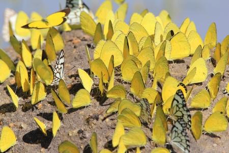 mariposas amarillas: Las mariposas amarillas - Insectos de color Foto de archivo