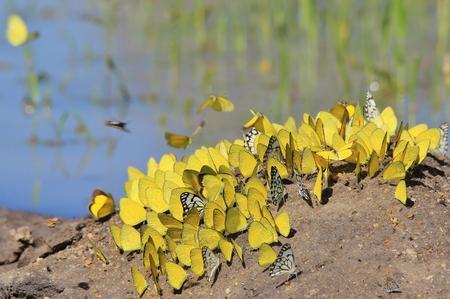 mariposas amarillas: Mariposas amarillas - vida colorida Foto de archivo
