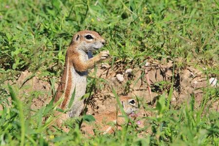 elusive: Ground Squirrel - African Wildlife Background - Friendly Rodent Pair