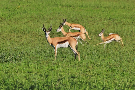 Springbok - Wildlife Background from Africa - Beautiful Speed and Color photo