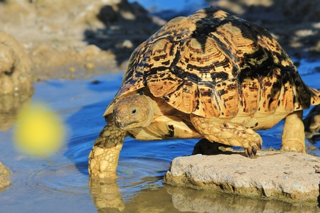 sweltering: Tortoise - Wildlife Background from Africa - Everything is Possible in Nature