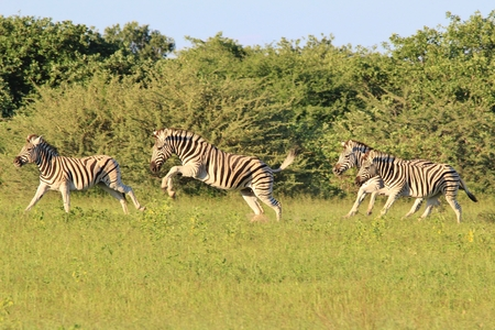Zebra - Wildlife Background from Africa - Majestic Nature at Speed photo