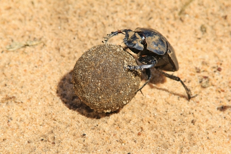 Dung Beetle - Rolling Dung for Life