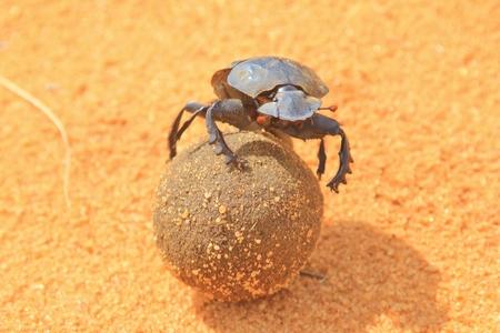 position d amour: Dung Beetle - Bounty de la vie d'un Fun
