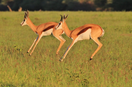 Springbok - Wildlife Background from Africa - Nature s Perfect Acrobatics and Synchronization photo