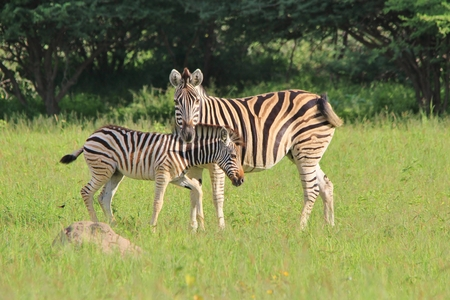 Zebra - Wildlife  from Africa - Animal Babies and their Moms photo