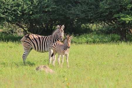 Zebra - Wildlife  from Africa - Family of Stripes photo