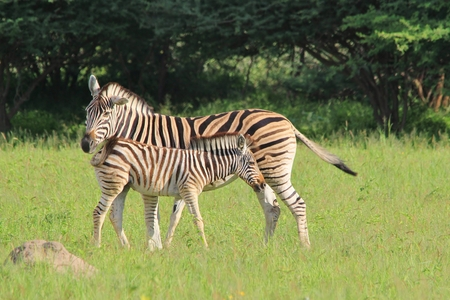 Zebra - Wildlife  from Africa - Young and Innocent Baby photo