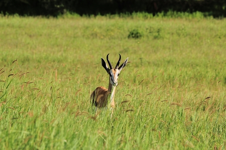 springbok: Springbok - Wildlife Background from Africa - Hidden Beauty