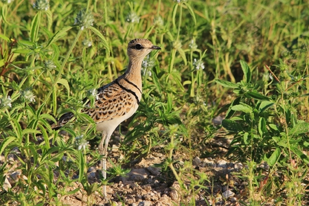 instinct: Double-banded Courser - Wild Bird Background from Africa - Instinct of Beauty