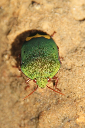 mesmerize: Stink bugs from Africa - Iridescent Greens