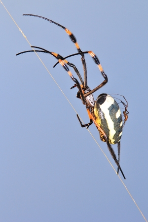 Golden Orb Web Weaver - Spider Background and Baby Arachnid Animal Background from Africa photo
