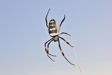 golden orb weaver: Dorato del globo Web Weaver - Spider sfondo e sfondo bambino Aracnide animali dall'Africa Archivio Fotografico