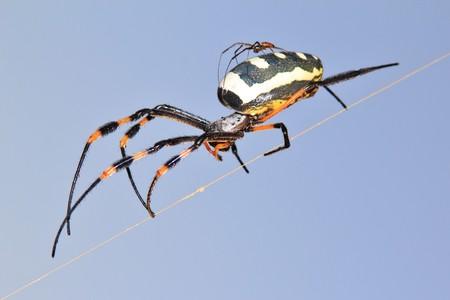 golden orb weaver: Dorato del globo Web Weaver - Spider Contesto e background bambino Aracnide animali dall'Africa Archivio Fotografico