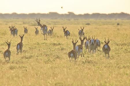 springbok: Springbok - Wildlife Background from Africa - Running Nature