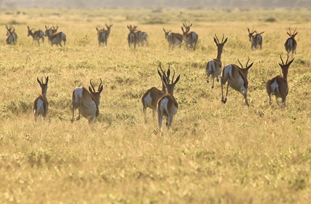 Springbok - Wildlife Background from Africa - Horns and Hooves