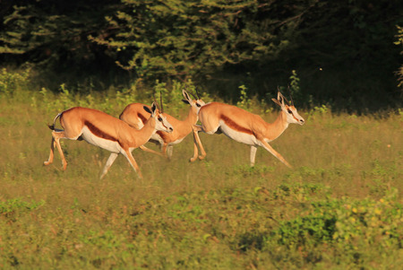 Springbok - Wildlife Background from Africa - The Green Mile