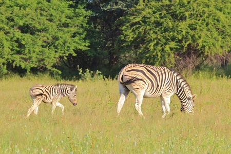 motherly love: Zebra - Wildlife Background from Africa - Dependency of Life and Motherly Love