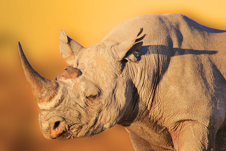 endangered species: Black Rhino - African Wildlife Background - Endangered Species Stock Photo