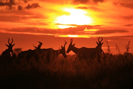 Red Hartebeest - Wildlife Background from Africa - Golden Sunset and Graceful Nature
