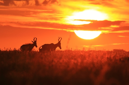 Red Hartebeest - Wildlife Background from Africa - Golden Sunset and Beautiful Nature