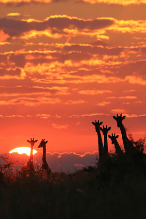 Giraffe Sunset - Wildlife Background from Africa - Wonders of Nature and Colors of Life photo