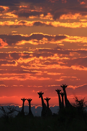 Giraffe Silhouette - Wildlife Background from Africa - Golden Grace, Harmony and Tranquility photo
