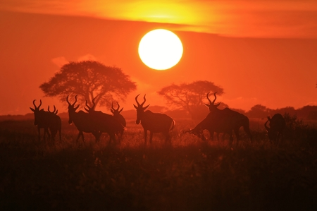Red Hartebeest - Wildlife Background from Africa - Golden Sunset and Graceful Nature photo