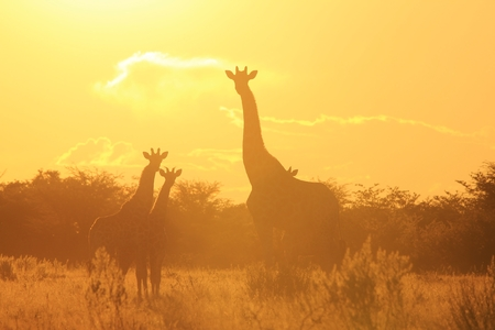 Giraffe Sunset - Wildlife Background from Africa - Wonders of Nature and Colors of Yellow Life photo