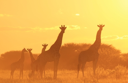 Giraffe Sunset - Wildlife Background from Africa - Wonders of Nature and Colors of Harmony photo