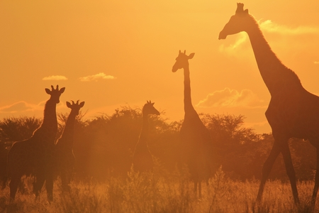 Giraffe Sunset - Wildlife Background from Africa - Graceful Colors and Nature s Life of Beauty photo
