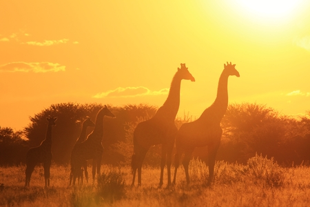 Giraffe Sunset - Wildlife Background from Africa - Wonders of Nature and Graceful Colors photo