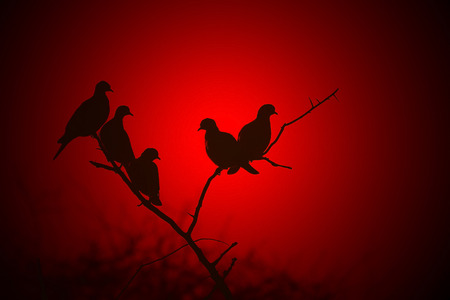 turtle dove: Silhouette of Red - African Turtle Doves in Bliss