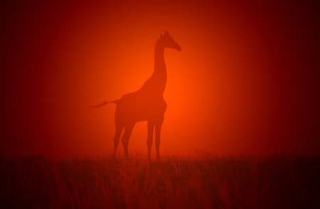 Giraffe Sunset - Wildlife Background from Africa - Red Glow of Beauty photo